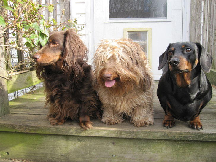 The Dachshund comes in a wide variety of sizes and colors.
