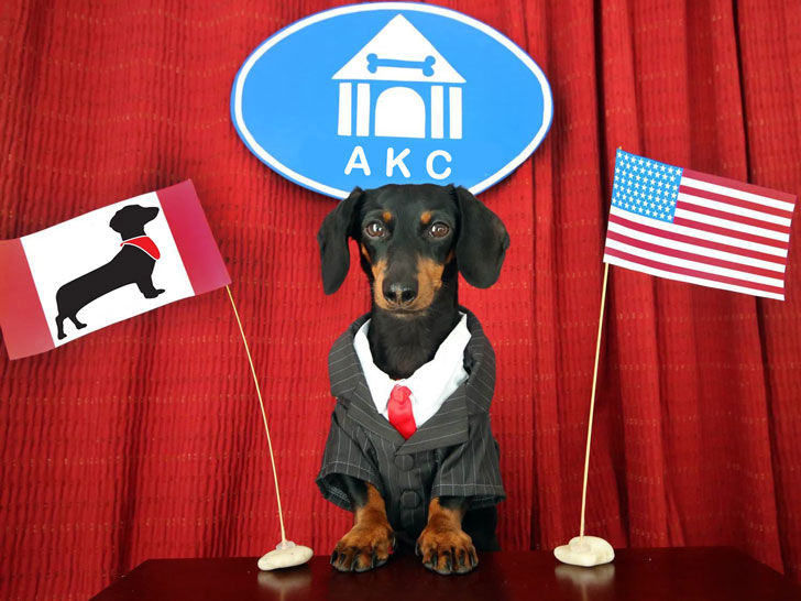 The Dachshund is one of the most popular breeds in America.