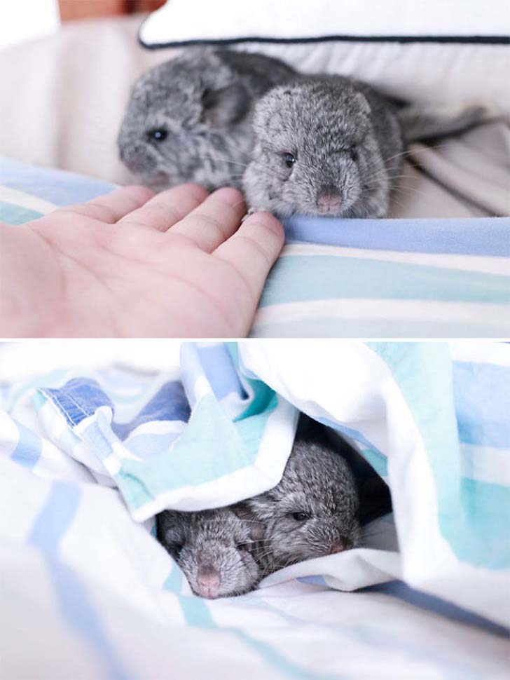 15-baby-chinchillas-that-will-melt-your-heart_11