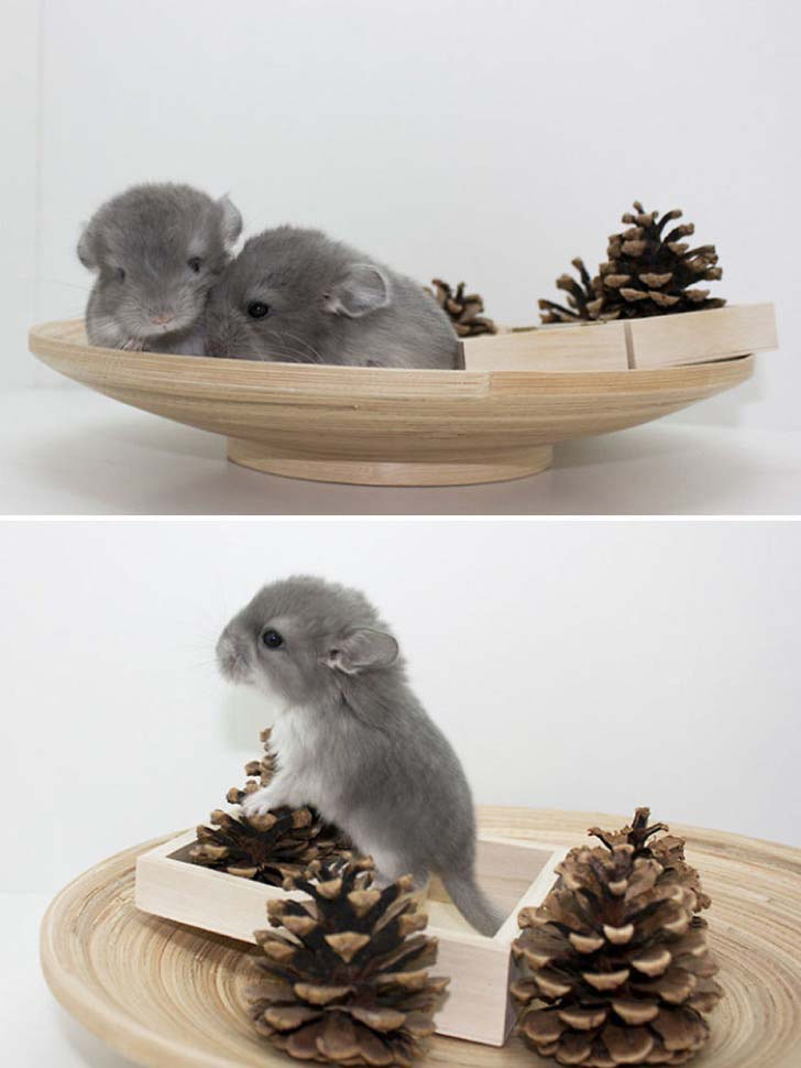 15-baby-chinchillas-that-will-melt-your-heart_14