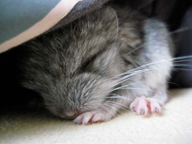15-baby-chinchillas-that-will-melt-your-heart_15