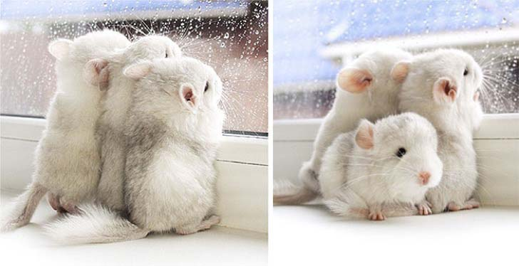 15-baby-chinchillas-that-will-melt-your-heart_2