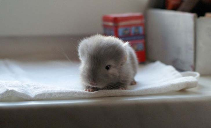 15-baby-chinchillas-that-will-melt-your-heart_4