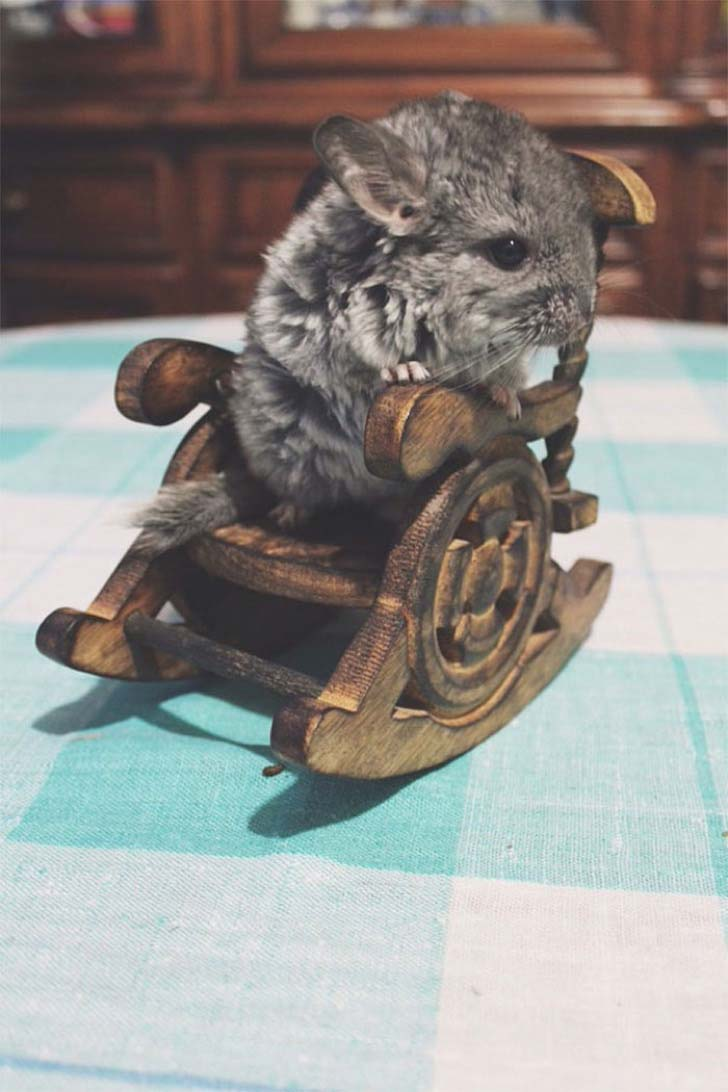 15-baby-chinchillas-that-will-melt-your-heart_5