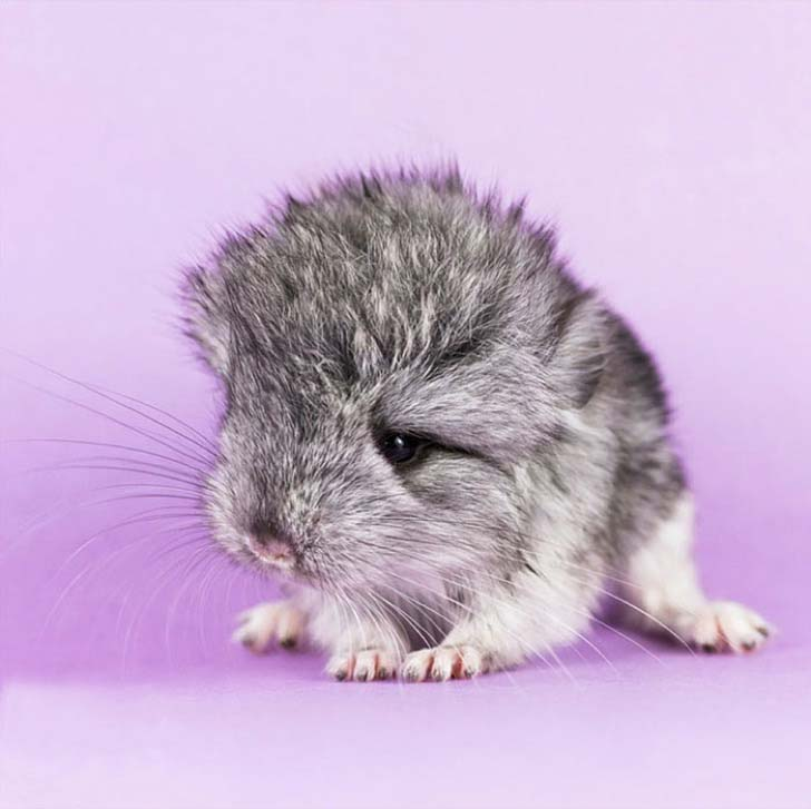 15-baby-chinchillas-that-will-melt-your-heart_8