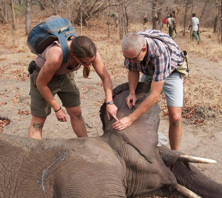 elephant-dying-in-snare-trap-had-no-idea-who-was-coming-to-help-him_2