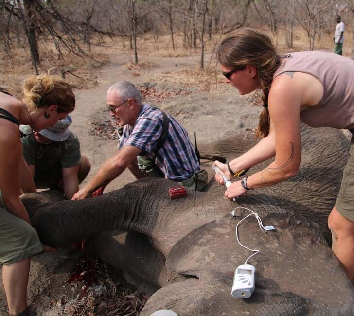 elephant-dying-in-snare-trap-had-no-idea-who-was-coming-to-help-him_3