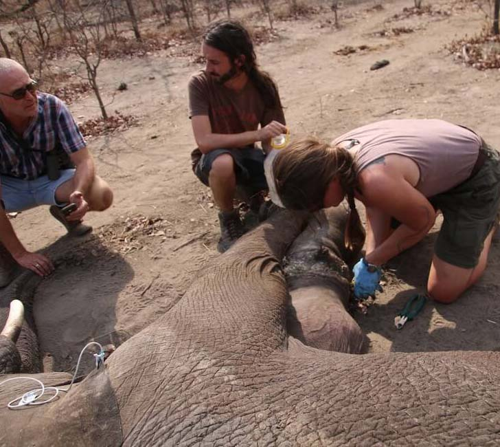 elephant-dying-in-snare-trap-had-no-idea-who-was-coming-to-help-him_5