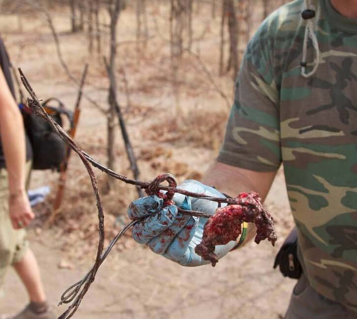 elephant-dying-in-snare-trap-had-no-idea-who-was-coming-to-help-him_7