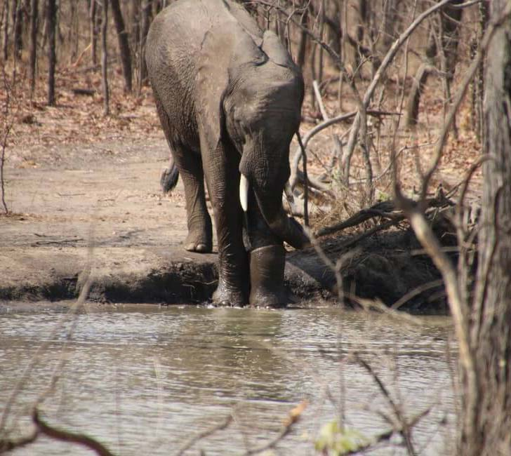 elephant-dying-in-snare-trap-had-no-idea-who-was-coming-to-help-him_8