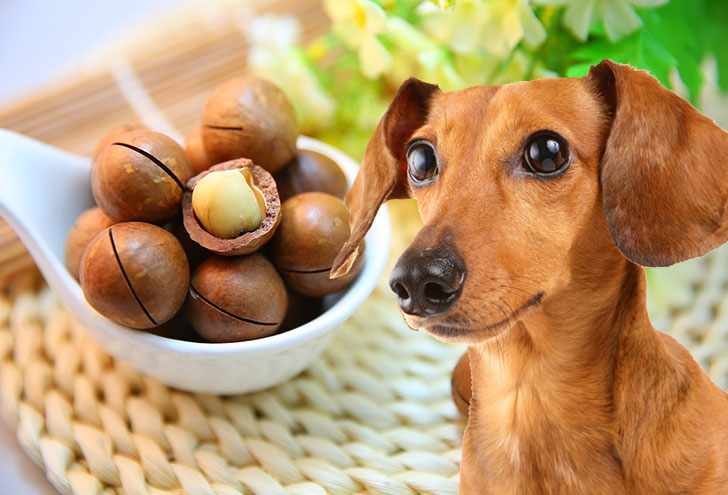 Macadamia nuts can cause muscle weakness in dogs.
