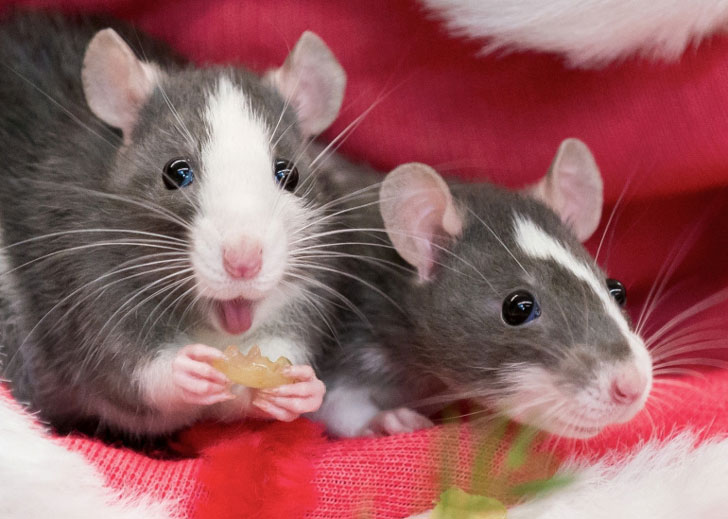 What makes a healthy and balanced diet for a rat?