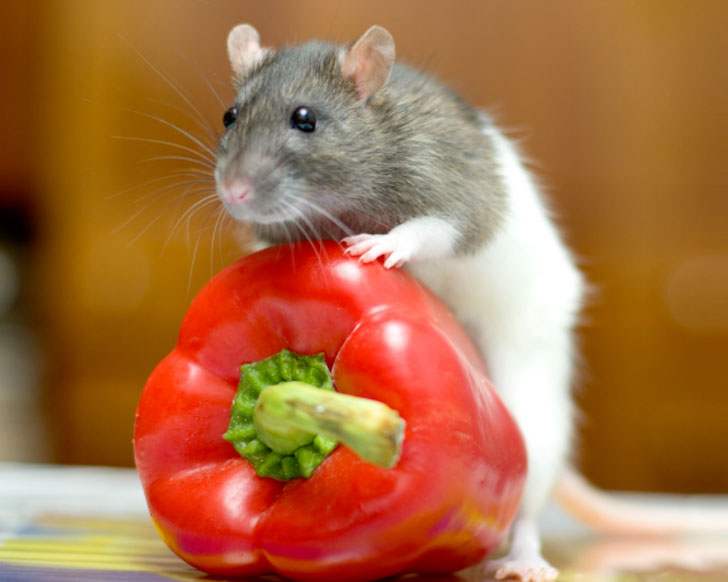 fresh foods for pet rats