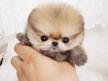10-of-the-worlds-smallest-dog-breeds-that-are-bound-to-steal-your-heart