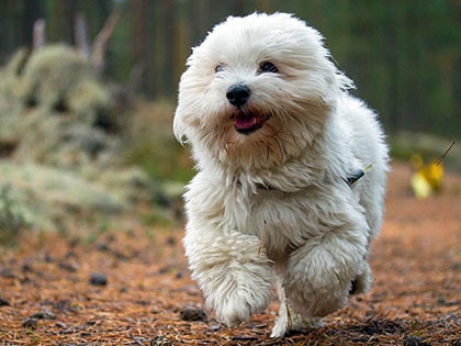 14-smallest-white-dogs-that-make-great-apartment-dogs