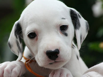 20-incredibly-cute-puppies-that-will-melt-your-heart