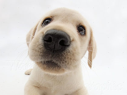 20-reasons-labradors-are-the-cutest-dog-breed-in-the-world