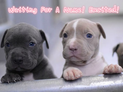 pit-bull-names-inspired-by-hollywoods-very-own