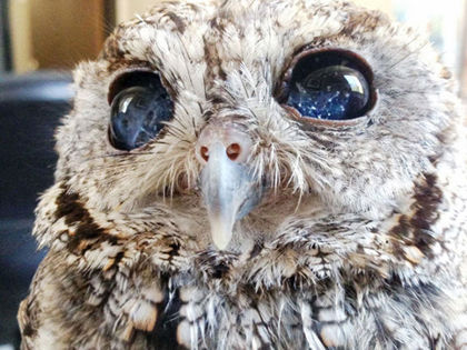 The Heartbreaking Reason Behind This Owl's Beautiful Eyes