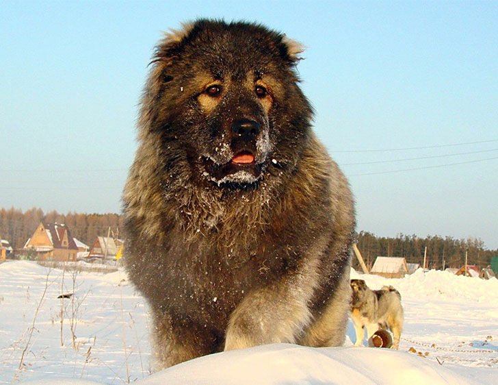 10-of-the-most-reliable-guard-dog-breeds-from-russia_3