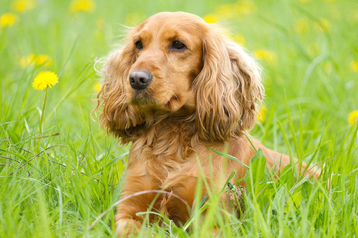 10-popular-dog-breeds-with-the-most-health-issues_10