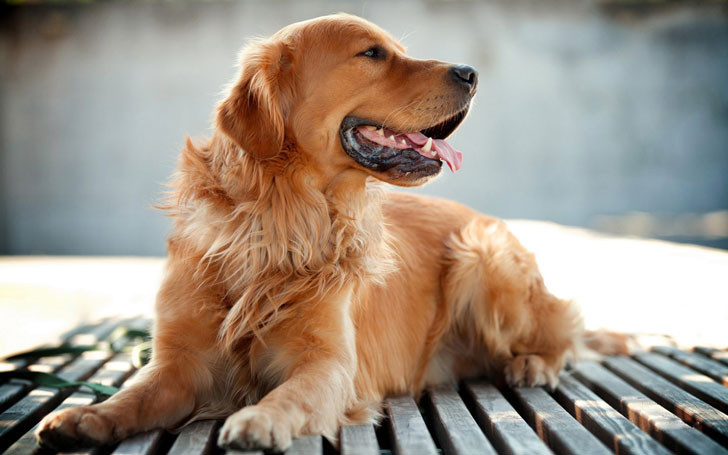 10-popular-dog-breeds-with-the-most-health-issues_5
