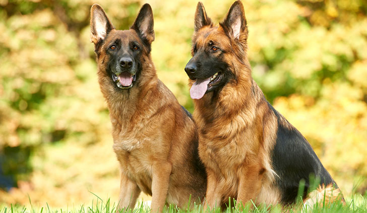 10-popular-dog-breeds-with-the-most-health-issues_6
