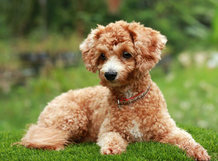 10-popular-dog-breeds-with-the-most-health-issues_8