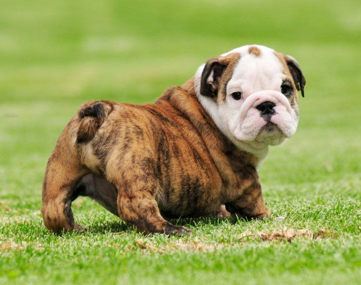 10-popular-dog-breeds-with-the-most-health-issues_9