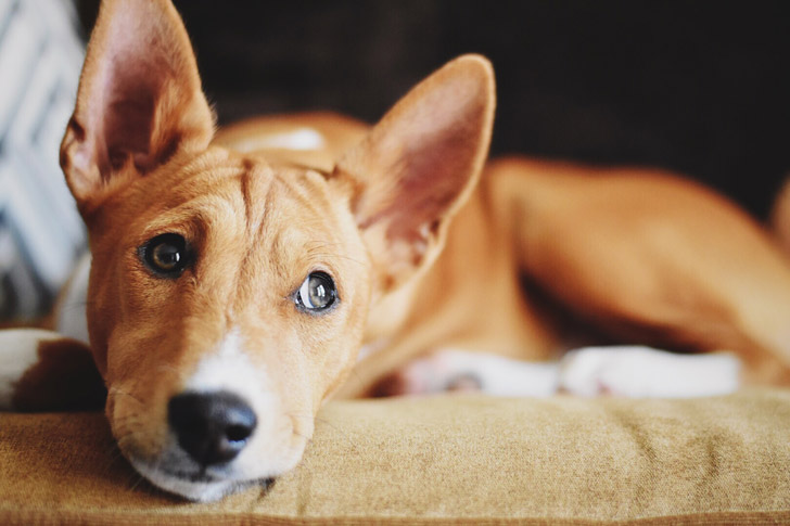 12-quiet-dog-breeds-that-are-perfect-roommates-for-you_2