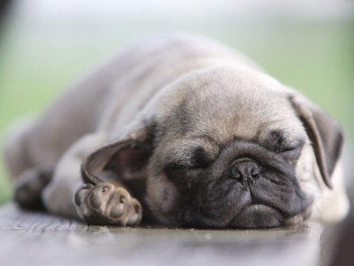 12-quiet-dog-breeds-that-are-perfect-roommates-for-you_4