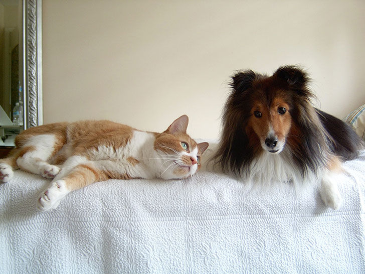 15-most-cat-friendly-dog-breeds-that-make-the-best-cat-companion_12