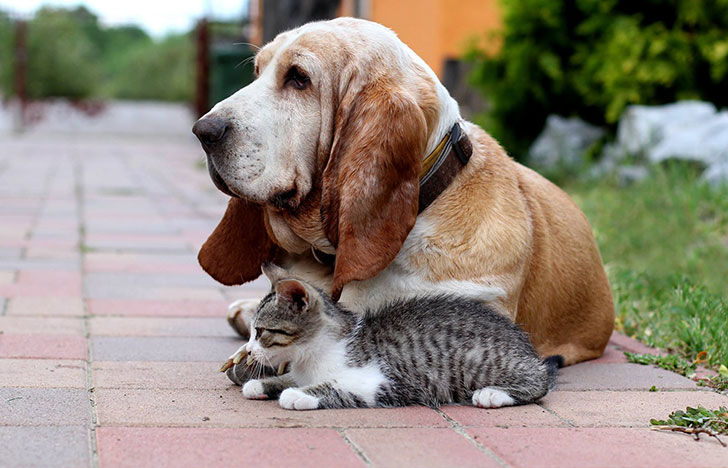 15-most-cat-friendly-dog-breeds-that-make-the-best-cat-companion_3