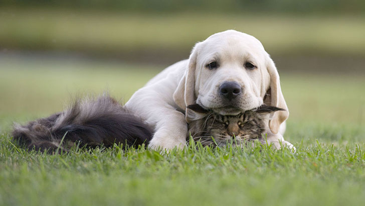 15-most-cat-friendly-dog-breeds-that-make-the-best-cat-companion_4