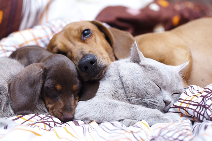 15-most-cat-friendly-dog-breeds-that-make-the-best-cat-companion_7