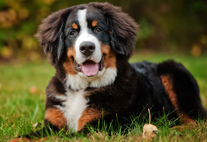 the-10-most-expensive-dog-breeds_7