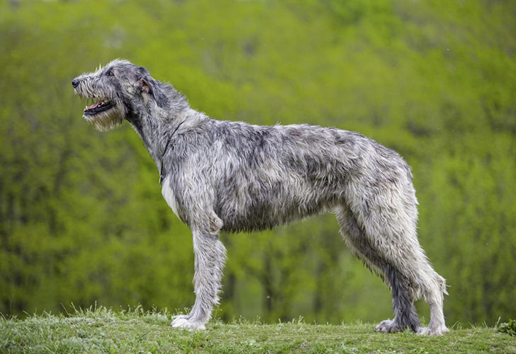the-10-most-expensive-dog-breeds_8
