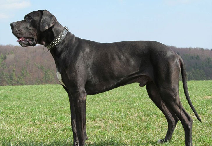 the-10-most-expensive-dog-breeds_9