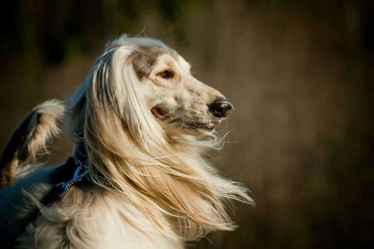 top-15-most-elegant-dog-breeds-as-your-noble-companion_1