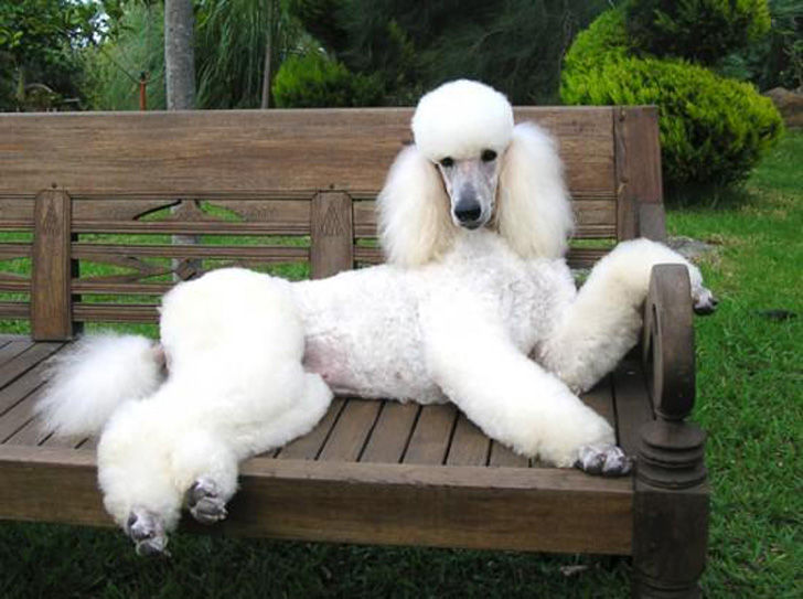 top-15-most-elegant-dog-breeds-as-your-noble-companion_10