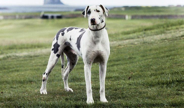 top-15-most-elegant-dog-breeds-as-your-noble-companion_11