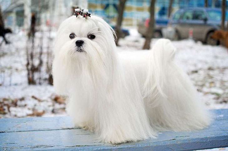 top-15-most-elegant-dog-breeds-as-your-noble-companion_2