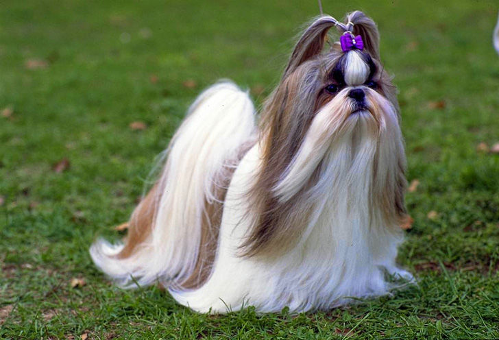top-15-most-elegant-dog-breeds-as-your-noble-companion_5