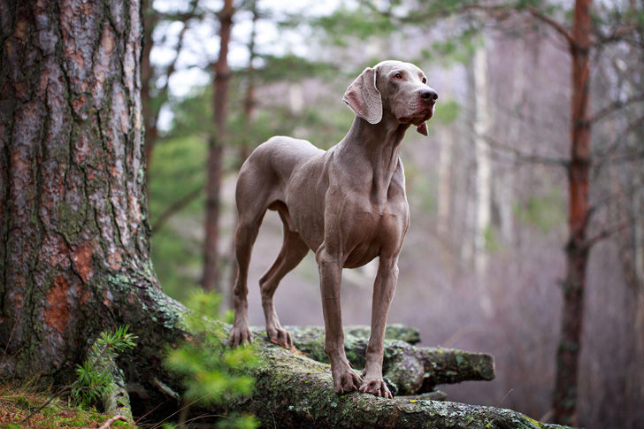 top-15-most-elegant-dog-breeds-as-your-noble-companion_6
