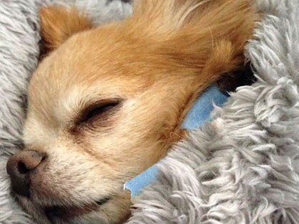15 Laziest Dog Breeds That Will Keep Your Couch-Potato Life Company