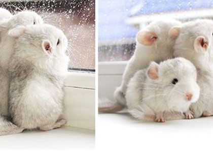 15 Baby Chinchillas That Will Melt Your Heart