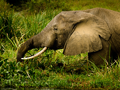 Elephant Dying In Snare Trap Had No Idea Who Was Coming To Help Him