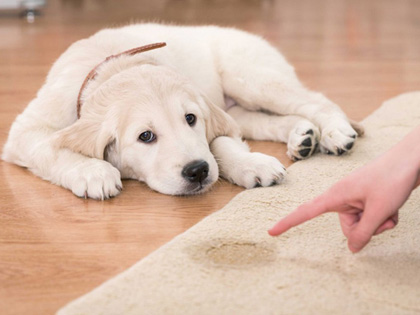 How To Stop Your Dog Peeing Everywhere In The House?