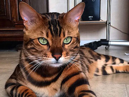Meet Thor, The Bengal Cat Who Looks Right Into Your Soul And Beyond