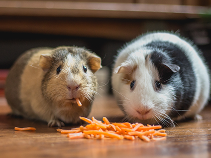 Safe And Dangerous Foods You Must Know To Keep Your Rat Happy And Healthy
